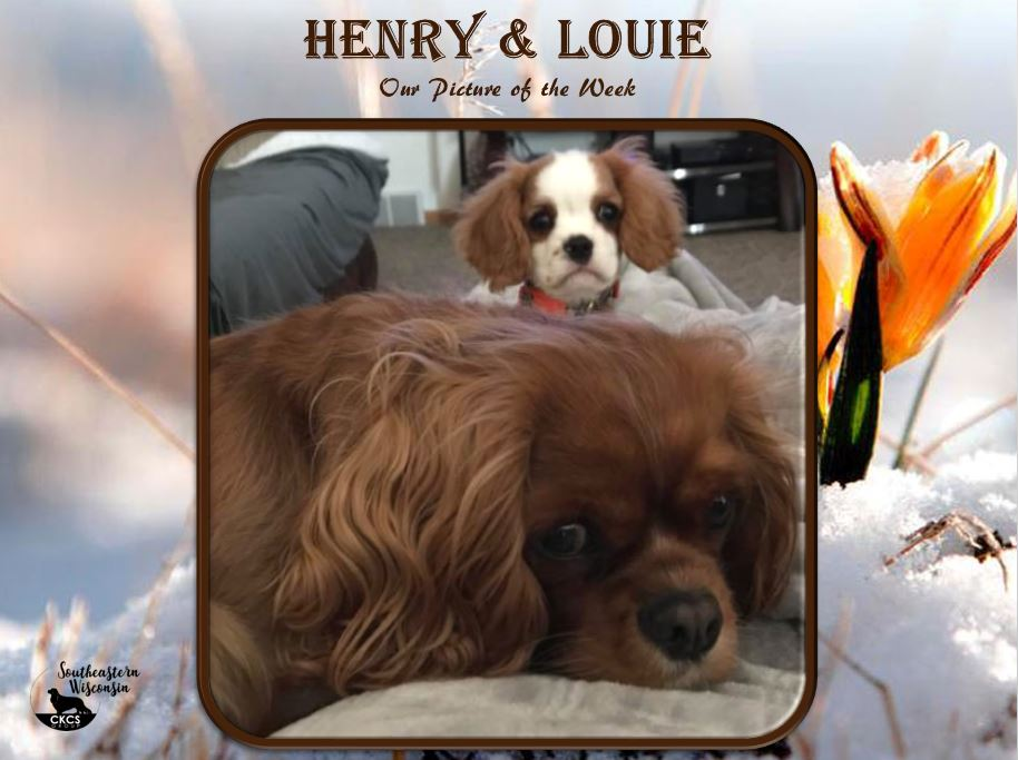 Ruby and Blen Cavalier Photo of the week