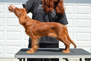 Ruby Cavalier stacked on a grooming table