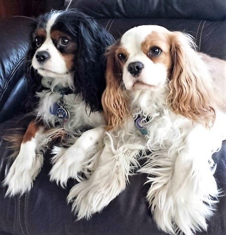 Image of: Airlines Your Dog Crawls Up And Snuggles Against You Looking At You Wanting To Be Petted After Few Minutes You Realize You Feel Better For Some Reason Southeastern Wisconsin Cavalier Group Does The Cavalier King Charles Spaniel Have What It Takes To Be