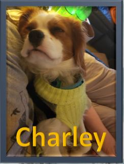 Charley Cavalier King Charles Photo of the week