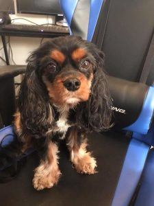 Black and Tan Cavalier in a chair