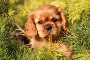 Ruby cavalier puppy